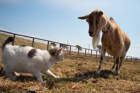 にらみ合うネコとヤギ