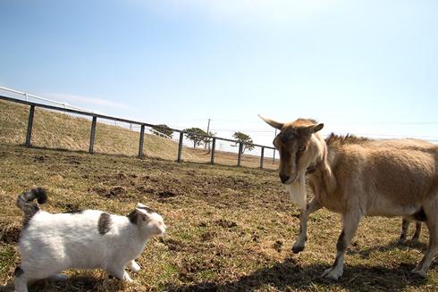 再度見合うネコとヤギ