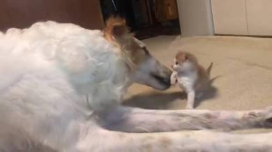 がんぼるぞい ボルゾイ犬 ネコパンチ