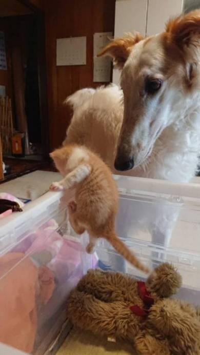 がんぼるぞいボルゾイ犬  ネコパンチ