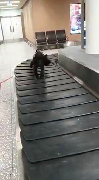 ベルトコンベヤーで遊ぶ麻薬探知犬
