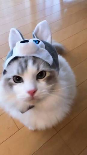 猫 ラグドール こまちゃん みるく君