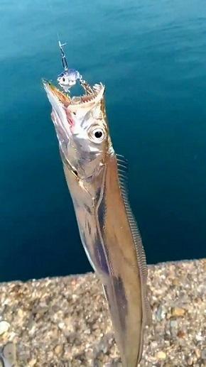 美しすぎる太刀魚
