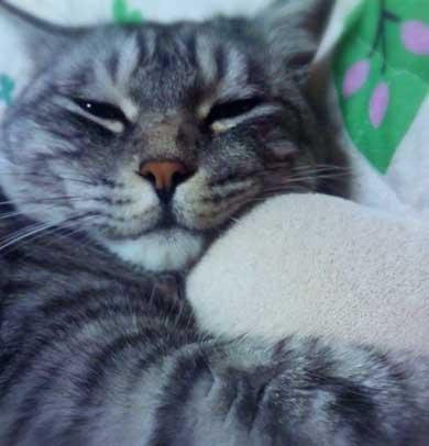 たぬき 言われた 猫 動物病院 先生 でぶ トド