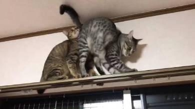 猫 りんさん るうちゃん カーテンレール