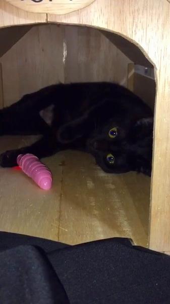 イモムシのおもちゃに興味を示さない猫ちゃん