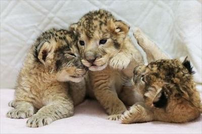 富士サファリパーク ライオンの赤ちゃん