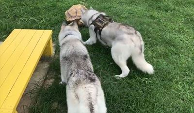 亀さんと遭遇したハスキーズ