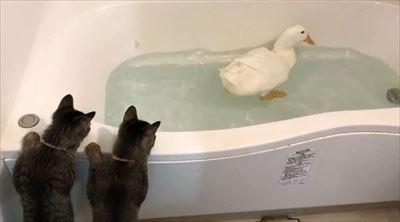 アヒルを見る猫たち