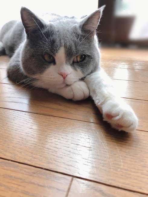 工事 業者 おびえる 怖がる 猫 部屋の角 隅 埋まろうと必死 ひので ブリティッシュショートヘア