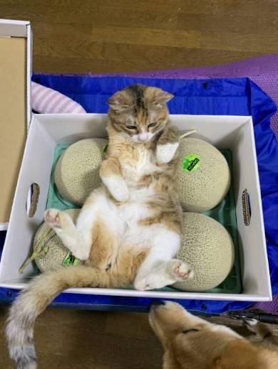 メロン くつろいでる猫