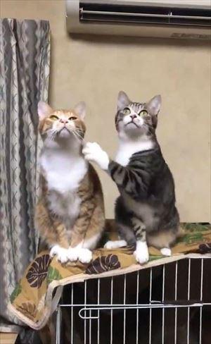 隣の猫に怒られる猫ちゃん