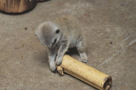 竹をいじるミーアキャット赤ちゃん