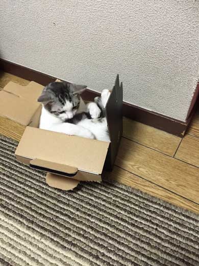 自分がまだ小さいつもり ダンボールに入る 猫 出られない 姿勢 ポーズ