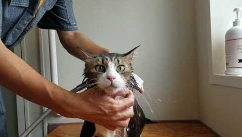 ボス 猫 お風呂 ボス吉 シャンプー おとなしい 大きい 保護猫 元野良 Pastel Cat World