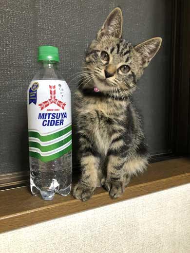 サイダー 振り返る 猫 成長 ペットボトル 比較 子猫 大きさ 1歳