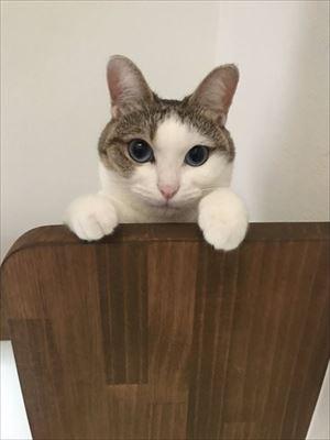 猫のつみれちゃん