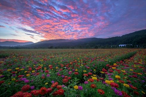 夏の花 ひまわり ヒャクニチソウ 写真 百日草 ヒマワリ 向日葵