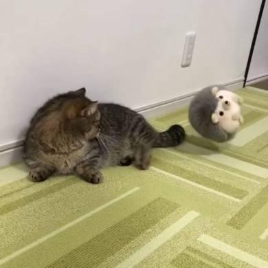 猫 マンチカン トニオ 小鉄