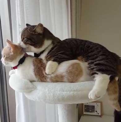 フィリップ王子 オーロラ姫 猫 ラブラブ グルーミング 毛づくろい Instagram マンチカン カップル