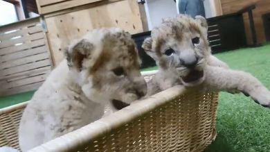 秋吉台サファリランド ライオンの赤ちゃん