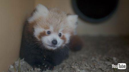 レッサーパンダの赤ちゃん