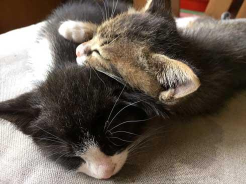 突然 寝る 体勢に入る 猫 子猫 兄弟