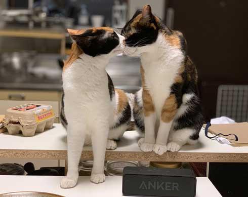 病院 帰宅後 人間なんて信用するもんか 猫 2匹 シャー 怒る 威嚇 抗議 最中餡子