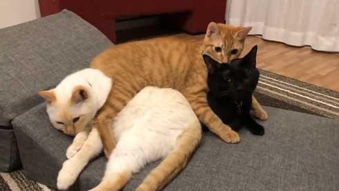 猫 3匹 寝方 寝姿 変 格好 バンザイ ホールド 首 同化 黒猫 イチ そら あめ 兄弟 仲良し 家族