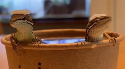 お風呂に入るカナヘビさん