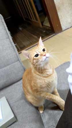 猫 ボール 球遊び 好き 投げるフリ だまされる おねだり かわいい