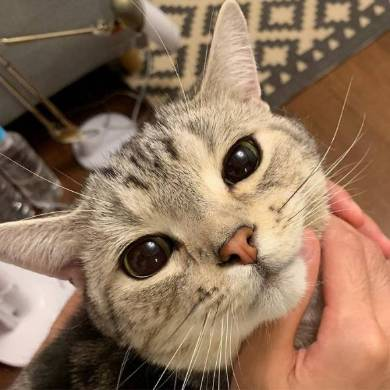 シルバ アメリカンショートヘア 猫