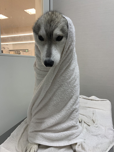 タオル巻きユキちゃん