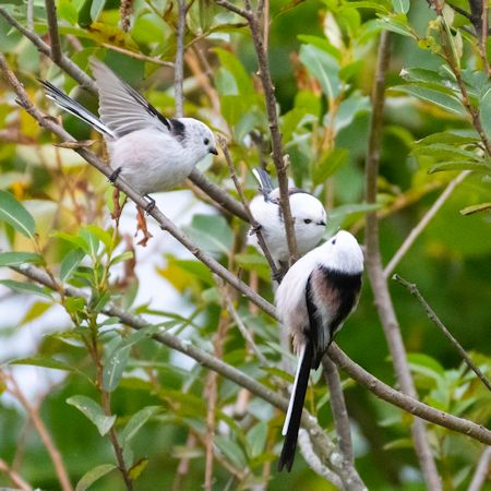 3羽のシマエナガ