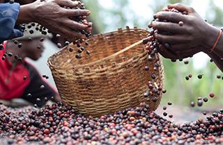 コーヒー豆を取る人