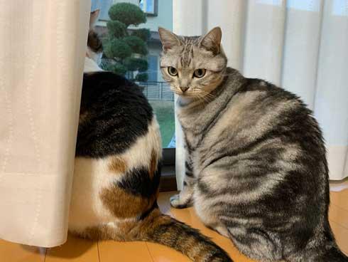 ムキムキ 猫 背中 マッチョ トリミング サスケ みふゆ