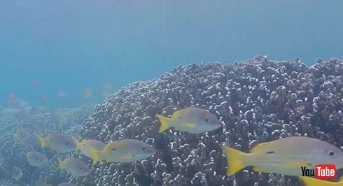 水中スピーカーから流れる生きたサンゴ礁の音で死にかけたサンゴ礁が回復 学術機関が発表