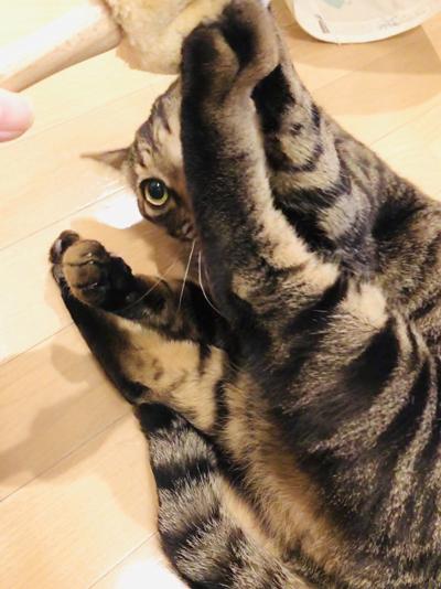 ブラシつかみキジトラ猫