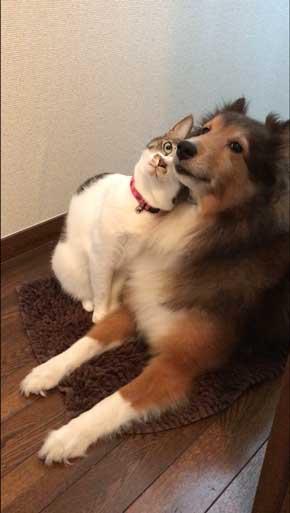 猫 犬に じゃれてる 飼い主より 懐く ラブラブ イチャイチャ すりすり 動画 大和なでしこ