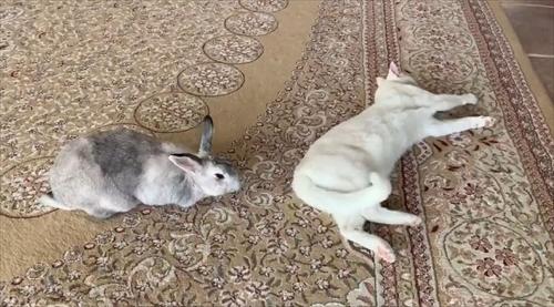 猫ちゃんのシッポが好きなウサギさん