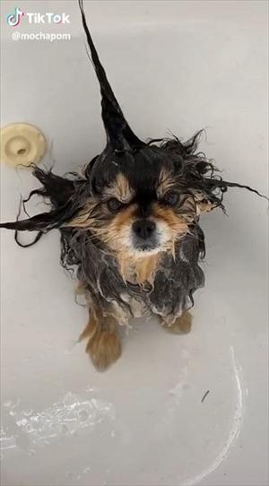 お風呂でフワフワにしてもらうワンちゃん