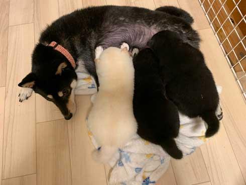 子犬 かくとあんよが動いてしまう かわいい ひっかき反射 黒柴 りつ