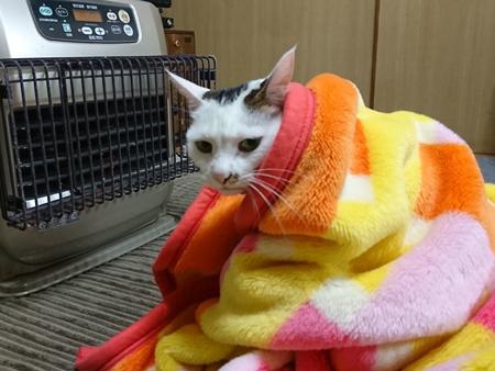 毛布にくるまれている猫ちゃん
