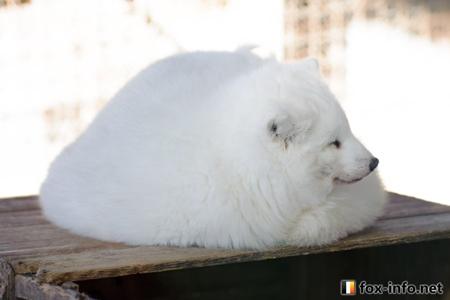 丸くなる白キツネ