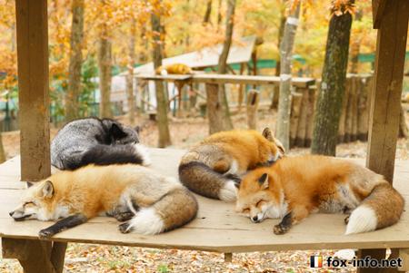 集団で眠るキツネ