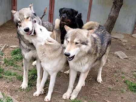 狼犬3匹とロットワイラー
