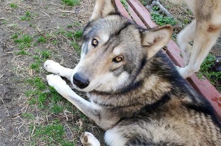 見上げる狼犬