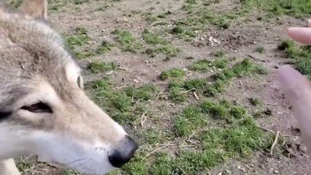 磁石動画2枚目手を見る狼犬