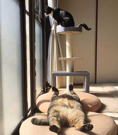 キジトラ 猫 こんぶ 無防備 寝相 寝姿 寝顔 お腹 あお向け 大胆 かわいい