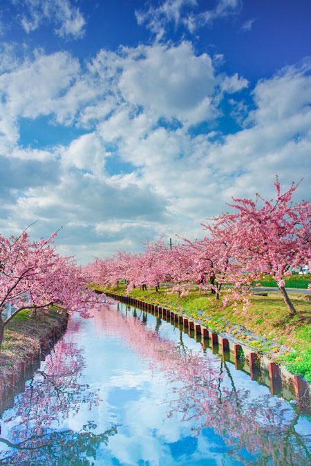 桜 写真 三重県 松阪市 笠松河津桜ロード きれい